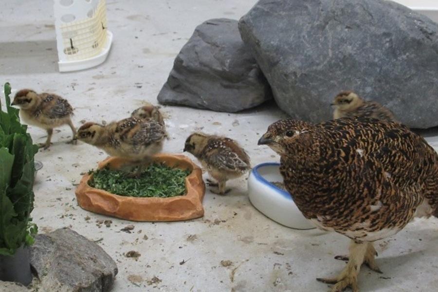 2021年に自然ふ化したヒナと母鳥(生後2週間)