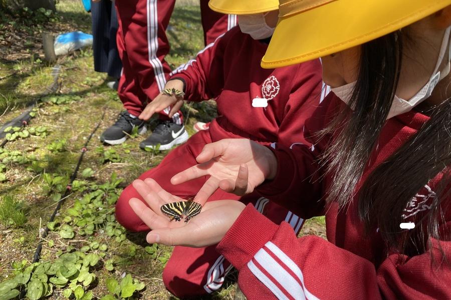 城端小学校で準絶滅危惧種のギフ蝶を守っています